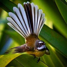 The tiny Fantail of New Zealand. They are such friendly little birds and have no fear of humans but will fly quite close to people and almost flirt before flying off then coming back. Nature Sauvage, New Zealand Houses, Nz Art, Fear Of Flying, Kiwiana, How To Attract Birds, Bird Pictures, Birds Pics, Nature Pictures