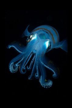 Bigfin Reef Squid At Night, Taiwan Photography By: Ching Kwan Joyce Ng Underwater Creatures, Underwater Life, Amazing Animals, Animals Beautiful, Orcas, Life Aquatic, Deep Blue Sea, Sea World, Underwater Photography