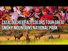 Fall Colors in Cataloochee Great Smoky Mountains National Park 2020 - YouTube