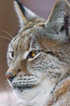 a lynx