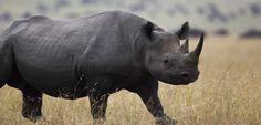 Namibia vuelve a permitir la caza de rinocerontes negros - http://www.renovablesverdes.com/namibia-vuelve-permitir-la-caza-rinocerontes-negros/