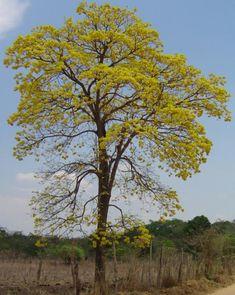 Ipê opa - Handroanthus ochraceus