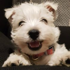 my smiley westie pup Waffle. Look at her smile!