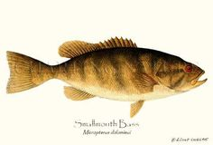 Smallmouth  Bass fish illustration print