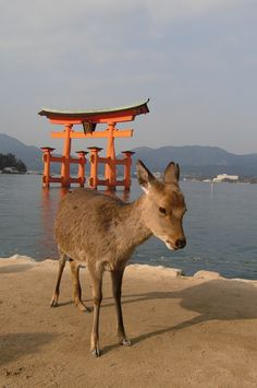 Miyajima - Japan... Ryan loved ALL of the deer. They were everywhere and would walk up to you and in and out of stores too!
