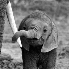 Baby elephant holding a tusk from another elephant. - Baby elephant holding a tusk from another elephant. Baby elephant holding a tusk from another elephant. Baby Animals Super Cute, Cute Little Animals, Cute Funny Animals, Baby Animals Pictures, Cute Animal Photos, Animals And Pets, Anime Animals, Nature Animals, Wild Animals