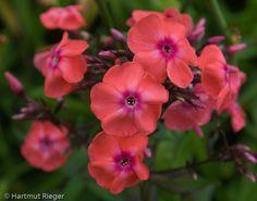 Phlox paniculata 'Frau Alfred von Mauthner' (aka 'Spitfire')