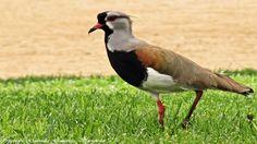 Queltehue, Guia de Fauna. RutaChile Fauna, Bird, Animales, Birds