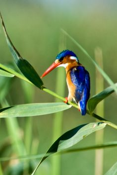 Malachite kingfisher, Botswana