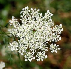 queen anne's lace - Google Search