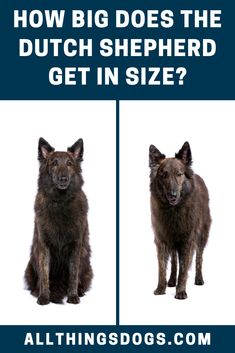 "The Dutch Shepherd is classified as a medium-sized dog breed. While male Dutch Shepherds can reach heights of 24.5"""", females are a couple inches shorter. Read our breed guide for more details on the Dutch Shepherd size and coat. #dutchshepherdsize #dutchshepherd #dutchshepherdcoat Medium Sized Dogs Breeds, Dog Agility, Dog Breeds, Dutch, The Incredibles, Couple, Reading, Coat, Sewing Coat"