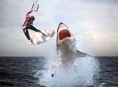 Great White Shark