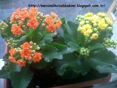 En çok kış aylarında çiçeklenmiş olarak satılan Kalanchoe blossfeldiana evlerde yetiştirilebilen, çok dayanıklı, succulent özellikli, kışın...