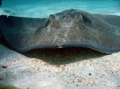Stingray, Sting Ray, Key West, Florida, the Florida Keys, snorkel trip, SCUBA, beach, ocean, wildlife