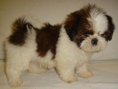 22 Best Lhasa Apso Mix Images Lhasa Apso Animal Rescue Cute Baby