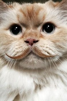 Want him! Mustache kitty...