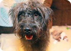 Pittsburg, CA - Standard Schnauzer/Poodle (Miniature) Mix. Meet Duke of Weselton, a dog for adoption. http://www.adoptapet.com/pet/12164920-pittsburg-california-standard-schnauzer-mix