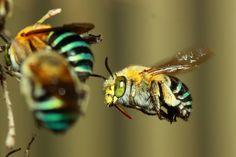 Australian Bees
