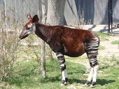Image result for Giraffidae Giraffe, Horses, Animals, Image, Animales, Felt Giraffe, Animaux, Horse, Words