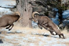 Bighorn Sheep Fighting - Wyoming Assisted Living & Care Facilities: Luxury Senior Living Centers