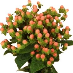 FiftyFlowers.com - Peaches and Cream Hypericum Berries