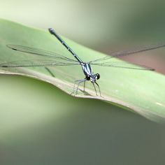 'Mr Dragonfly' by Debbie Widmer Botanical Gardens, Photography, Photograph, Fotografie, Photoshoot, Fotografia
