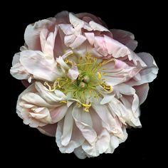 Ballet Peony Flower, My Flower, Flower Art, Flower Power, Big Flowers, Vintage Flowers, Beautiful Flowers, Flowers Garden, Spring Flowers