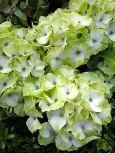 Hydrangea in shades of lime green and white Hydrangea Macrophylla, Hortensia Hydrangea, Hydrangea Garden, Green Hydrangea, Green Flowers, Pretty Flowers, Peonies And Hydrangeas, Lilacs, Garden Pictures
