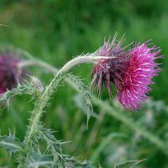 11 plante medicinale pentru un ficat sanatos - Infuzie de Sănătate Beauty Skin, Herbalism, Dandelion, Medical, Herbs, Skin Care, Health, Flowers, Food