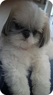 I Found Puff On My Passion My Pets Shih Tzu Pinterest Shih Tzu