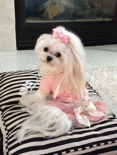 Your cute Maltese definitely needs a haircut. Here is a list of 35 adorable Maltese haircuts your puppy deserves for a clean look. Cute Dogs And Puppies, I Love Dogs, Tiny Puppies, Pet Dogs, Beautiful Dogs, Animals Beautiful, Cute Baby Animals, Funny Animals, Shih Tzu Hund