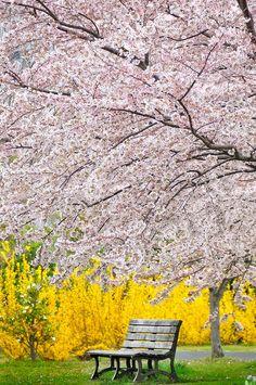 Under the full bloom, Tokyo, Japan