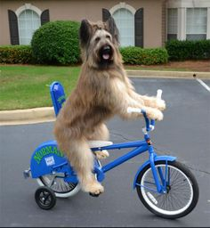 This is Norman the Scooter Dog, a dog who has over 66,000 fans on his Facebook page. Yes, really! How many do YOU have, non-scooter-riding other dogs?  Clearly, as this picture shows, Norman has also perfected the art of bike riding too. You go, Norman.