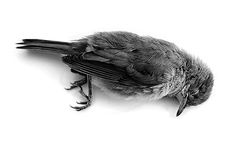dead bird - Google Search