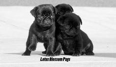 #Pug Breeders  Lotus Blossom Pugs http://www.lotusblossompugs.com