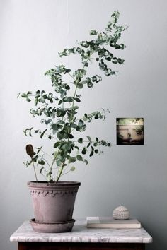 Eucalyptus Growing Indoors - Another! Eucalyptus Tree, Eucalyptus Plant Indoor, Green Plants, Potted Plants, Indoor Plants, Indoor Trees, Air Plants, Pot Plante, Sweet Home