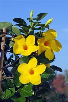 Diamantina Opale Citrine the first yellow dipladenia on the market! Potted Plants, Garden Plants, House Plants, Tropical Flowers, Yellow Flowers, Pot Plante, Colorful Plants, Desert Rose, Go Green