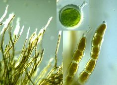 Order Chaetophorales, Trentepohlia aurea. Note tapering at the ends of the filaments/branches.