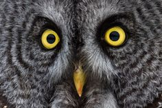 Great Grey Owl eyes This owl shot was taken in January just outside of Ottawa, Canada 2017. I spent 2 days finding the beautiful bird and as habit dictates he stayed in the same field for the next 3 days. Each time the great grey owl swoops down and catches his prey (field mice) he …