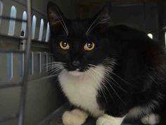 SUPER URGENT - OUT OF TIME 7/31/15 -KITTEN RAY - A1043672 - - Brooklyn ***TO BE DESTROYED 07/29/15*** ANOTHER CHANCE FOR THIS PURRING, KNEADING YOUNG TUXIE CHARMER, DUMPED FOR NEW BABY, HAS A NEAR-PERFECT BEHAVIOR RATING, BUT WILL DIE BECAUSE HE SNEEZED – PLEASE GRANT KITTEN RAY A DEATH ROW PARDON!!! Handsome three-year-old tuxie charmer KITTEN RAY was BETRAYED by his old owners, who dumped this darling gent and his Shih Tzu dog friend CHARLIE (A1043671) due to NEW BABY. Didn't they realize…