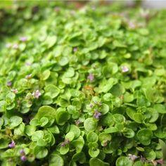 Corsican Mint Corsican Mint, Mentha requienii, is a delightful low growing ground cover. Light Purple Flowers, Mint Flowers, Planting Bulbs, Planting Flowers, Horticulture, Corsican Mint, Low Growing Ground Cover, Glass Gem Corn, Grass Alternative
