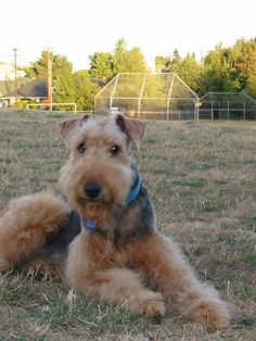 So you have decided to get an Airedale Terrier?      You are going to have your hands full.  Having an Airedale around stands much of the conventional dog training advice on its head.         After having had three of them, it is a promise. On the...