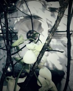 Orquídea Antigua Guatemala.