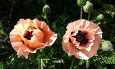 Pink poppies early June