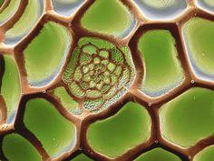 Teselaciones: el hexágono en huevos de mariposa. | Matemolivares