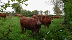 Limousin cattle   Flickr
