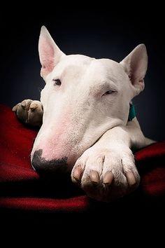 Bull terrier looking bored..