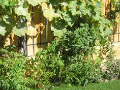 Garden: zapallos (pumpkin), tomates, ají Cacho de Cabra