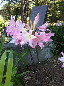 Amaryllis - aka Naked Lady - I have many of these bulbs in my yard.  They perk up the garden in late summer, early fall.