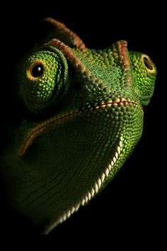 camaleon de frente - Buscar con Google